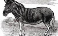 奇闻趣事;100年前灭绝的混血儿,来自地狱的斑驴,现在又回到了大自然