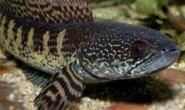 这就是为什么水里没有其他长着蛇头的鱼。这就是这条大鲶鱼的遭遇